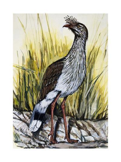 Red-Legged Seriema (Cariama Cristata), Cariamidae--Giclee Print