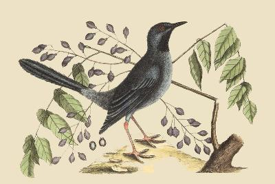 Red Legged Thrush-Mark Catesby-Art Print