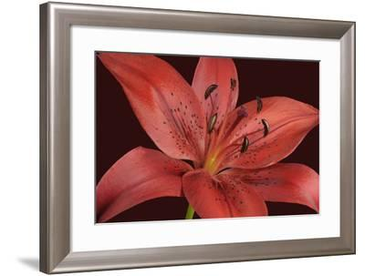 Red Lily-Cora Niele-Framed Photographic Print
