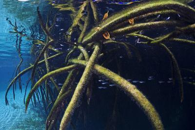 Red Mangrove (Rhizophora Mangle) in Sinkhole-Claudio Contreras-Photographic Print