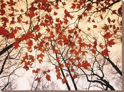 Red Maple and Autumn Sky-Raymond Gehman-Stretched Canvas Print