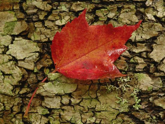 Red Maple Leaf on Birch Bark, White Mountain National Forest, New Hampshire-Adam Jones-Photographic Print