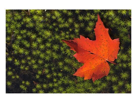 Red Maple Leaf-Mike Grandmaison-Art Print