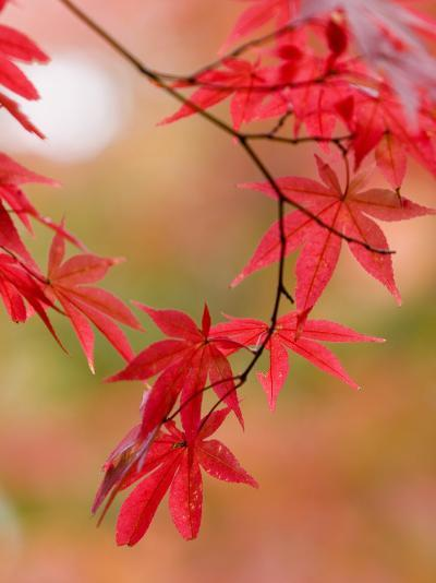 Red Maple Leaves at Okochi-Sanso Villa Teahouse and Gardens-Brent Winebrenner-Photographic Print