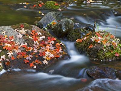 Red Maple Leaves, Little Carp River, Porcupine Mountains State Park, Michigan, USA-Chuck Haney-Photographic Print