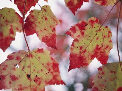Red Maple Leaves-George F^ Mobley-Photographic Print