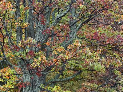 Red Maple Tree in Autumn Foliage in Shenandoah National Park, Virginia-Tim Fitzharris-Photographic Print