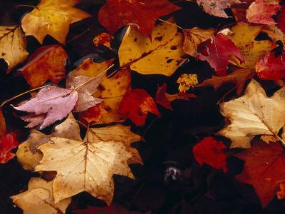 Red Maple Tree Leaves and Others Floating in Price Lake-Raymond Gehman-Photographic Print