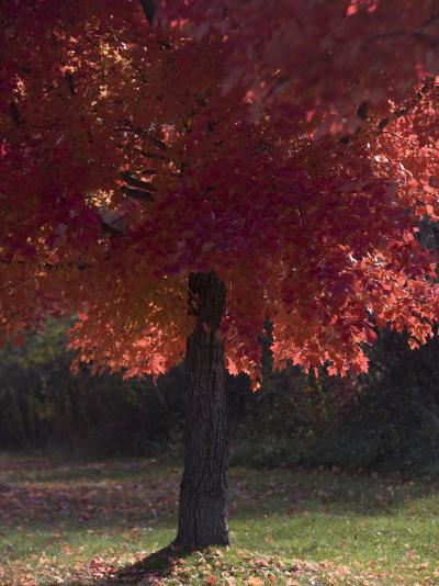 Red Maple Tree on an Autumn Day Silhouettes by the Sun-Taylor S^ Kennedy-Photographic Print