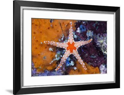 Red Mesh Starfish, Fromia Monilis, Ambon, the Moluccas, Indonesia-Reinhard Dirscherl-Framed Photographic Print