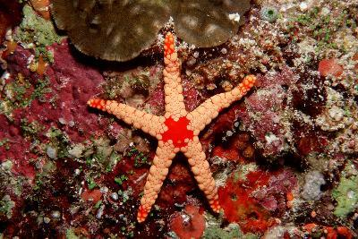 Red-Mesh Starfish (Fromia Monilis), Indian Ocean.-Reinhard Dirscherl-Photographic Print