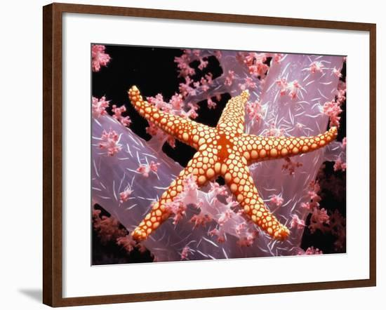 Red Mesh Starfish on Coral-Jeffrey L. Rotman-Framed Photographic Print