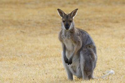 Red Neck Wallaby, Queensland, Australia, Pacific-Jochen Schlenker-Photographic Print