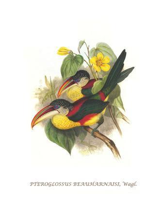 https://imgc.artprintimages.com/img/print/red-necked-or-double-collared-aracari_u-l-pggmkz0.jpg?p=0