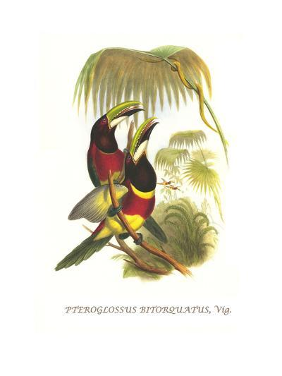 Red Necked or Double Collared Aracari-John Gould-Art Print