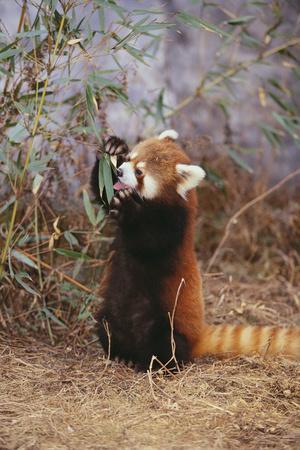 https://imgc.artprintimages.com/img/print/red-panda-eating-bamboo-leaves_u-l-pzrdyj0.jpg?p=0
