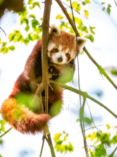 Red Panda  or Lesser Panda Hanging on a Branch High in a Tree-luckybusiness-Photographic Print