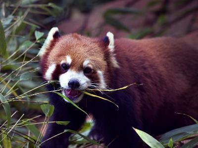 Red Panda Shining Cat Eating Bamboo, Chengdu, Sichuan, China-William Perry-Photographic Print