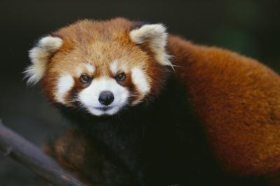 Red Panda-DLILLC-Photographic Print