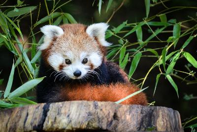 Red Panda-_jure-Photographic Print