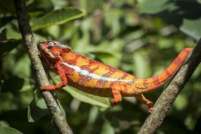 Red Panther Chameleon (Furcifer Pardalis), Endemic to Madagascar, Africa-Matthew Williams-Ellis-Photographic Print