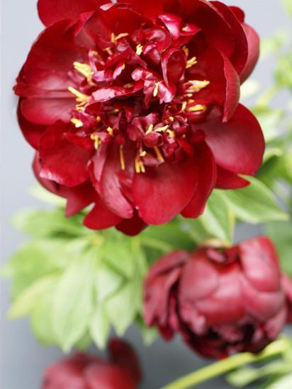 Red Peonies-Sebastian Vogt-Photographic Print