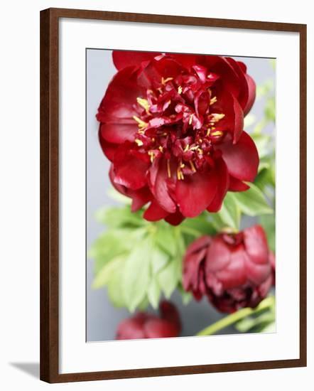 Red Peonies-Sebastian Vogt-Framed Photographic Print