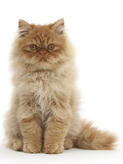 Red Persian Male Kitten, 15 Weeks, Sitting-Mark Taylor-Photographic Print