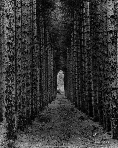 Red Pines, Empire, MI-Monte Nagler-Art Print