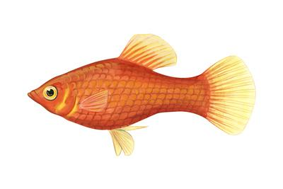 Red Platy (Xiphophorus Maculatus), Fishes-Encyclopaedia Britannica-Art Print