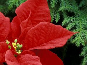 Red Poinsettia, Washington, USA