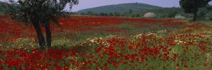 Red Poppies in a Field, Turkey