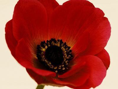 https://imgc.artprintimages.com/img/print/red-poppy-01_u-l-q1cpvbq0.jpg?p=0