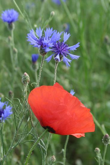 Red Poppy and Cornflowers--Photographic Print