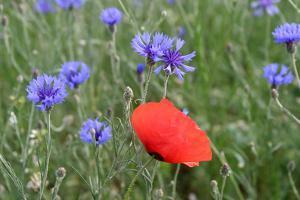 Red Poppy and Cornflowers