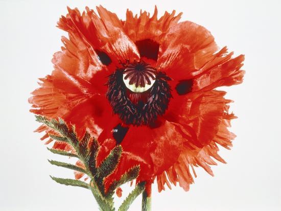Red poppy blossom-Josh Westrich-Photographic Print