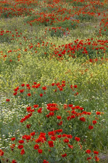 Red Poppy Field in Central Turkey During Springtime Bloom-Darrell Gulin-Photographic Print