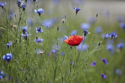 https://imgc.artprintimages.com/img/print/red-poppy-papaver-rhoeas-brown-knapweed-centaurea-jacea-and-forking-larkspur-slovakia_u-l-q10og350.jpg?p=0