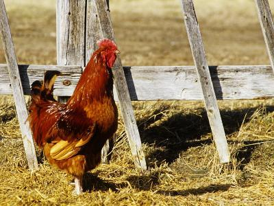 Red Rooster, Rhode Island, USA-Chuck Haney-Photographic Print