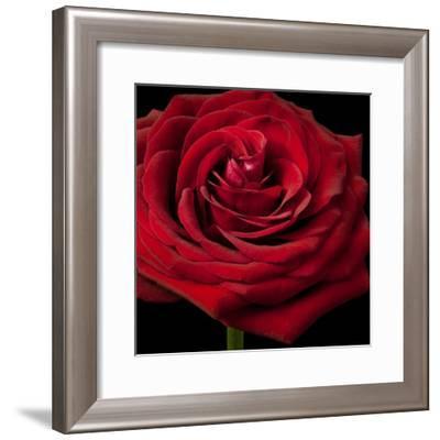 Red Rose 02-Tom Quartermaine-Framed Giclee Print