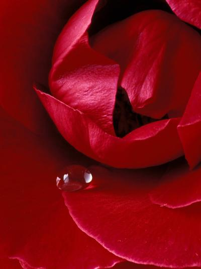 Red Rose, American Beauty, with Tear Drop, Rochester, Michigan, USA-Claudia Adams-Photographic Print