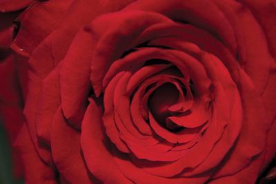 https://imgc.artprintimages.com/img/print/red-rose-detail_u-l-q10pmkn0.jpg?p=0