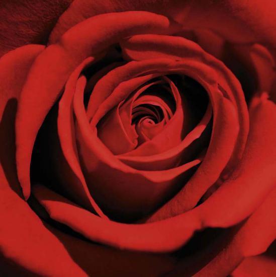 Red Rose-Laurent Pinsard-Art Print