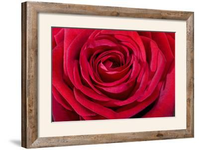 Red Rose--Framed Photographic Print