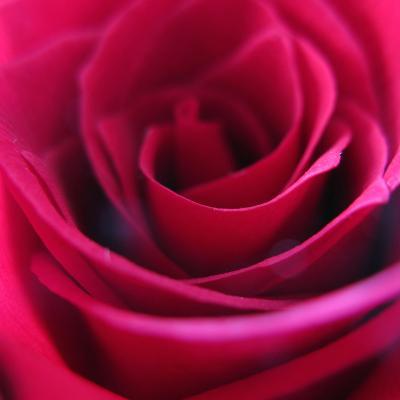Red Rose-Carolina Hernandez-Photographic Print
