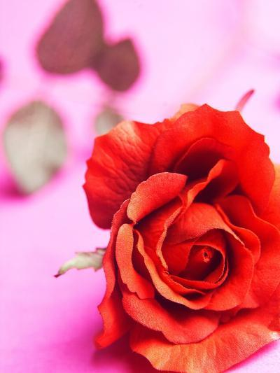 Red rose--Photographic Print