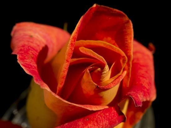 Red Rose-Charles Bowman-Photographic Print