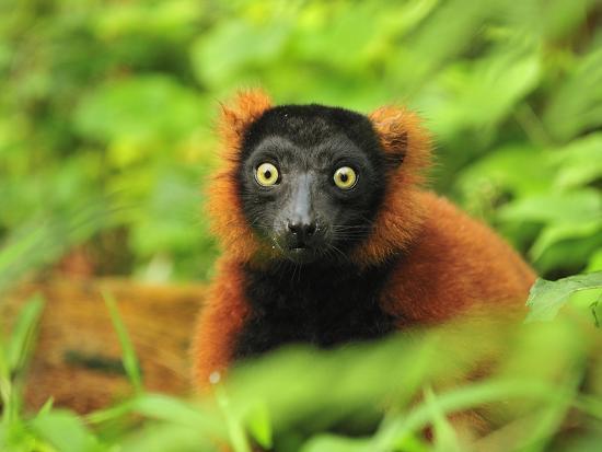 Red Ruffed Lemur (Varecia Rubra), Masoala National Park, Madagascar-Thomas Marent-Photographic Print
