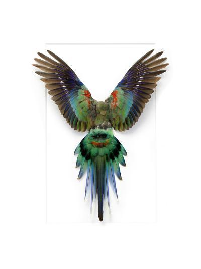 Red Rump Parakeet-Christopher Marley-Photographic Print