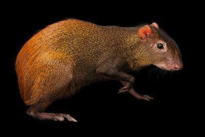Red-Rumped Agouti, Dasyprocta Leporina, at Omaha Zoo's Wildlife Safari Park-Joel Sartore-Photographic Print